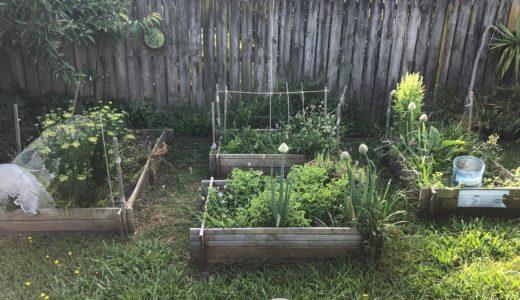 野菜作りに復帰しました。